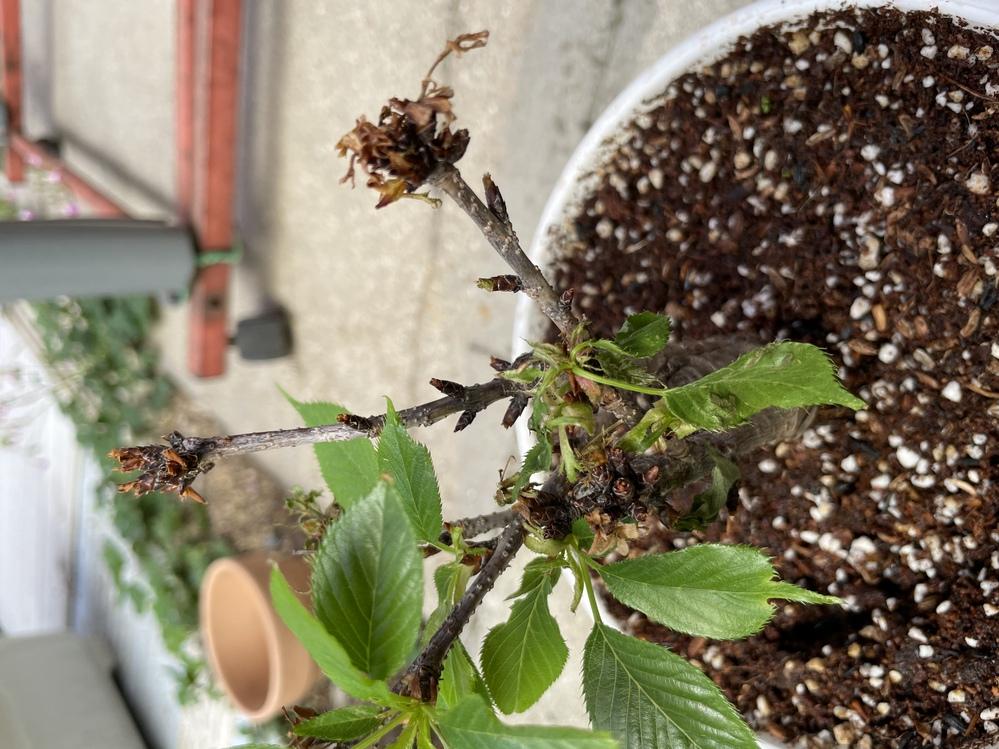 桜盆栽についてです。 4月末に鉢植えに植え替えをしたら元気な葉っぱが出てきたのですが、 最近、しなしなの葉っぱが出てきました。 二股に枝が分かれて左の枝は元気な葉で右の枝は花が落ちてから葉が生えてきません。 水は2日に一回ペースにしています。 何か対処したほうがいいですか?
