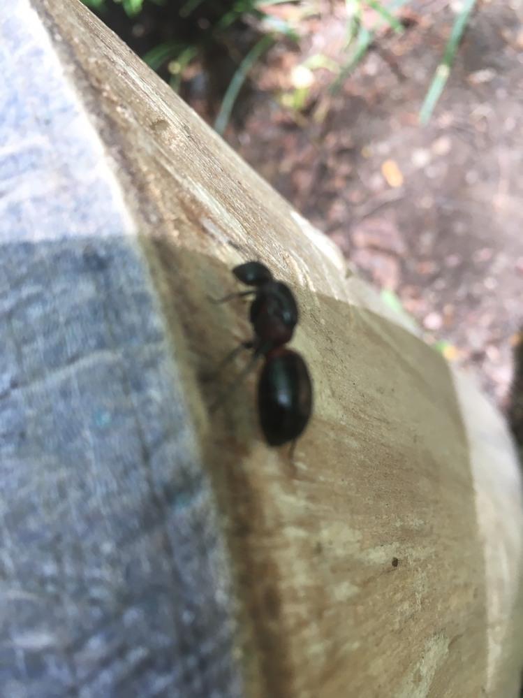 こんな大きい蟻がいましたが、これは働き蟻でこの大きさでしょうか?クロオオアリよりも大きかったです。 ムネアカオオアリでしょうか?