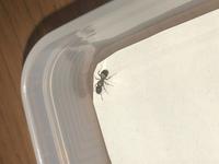 この蟻は何というありなのでしょうか。 オオズアリ種のコロニーから採取したのですが、ワーカーよりも大きく体長が5ミリほどで、女王蟻かもと思い採取したんですが、調べていくうちにクロナガアリのワーカーにも見えてきて。 教えていただけるとありがたいです。