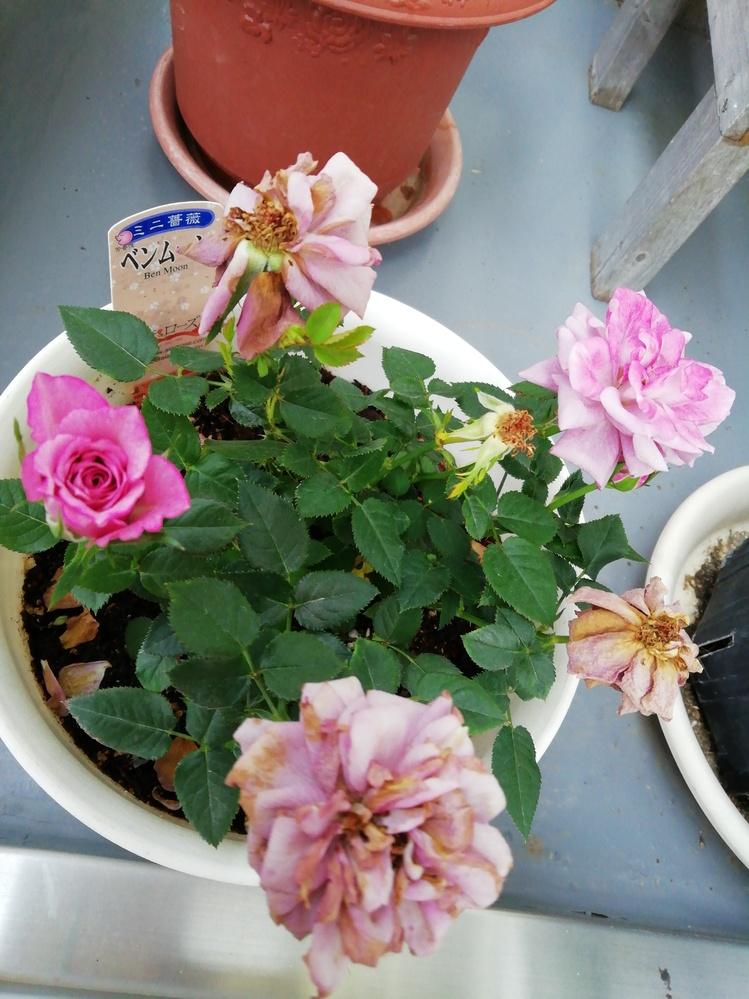 ミニバラを貰って育ててるのですが、花が枯れた後はどうしたらいいのでしょうか? ピンクのバラと黄色のバラは種類が違うみたいですが育て方は同じで大丈夫ですか?
