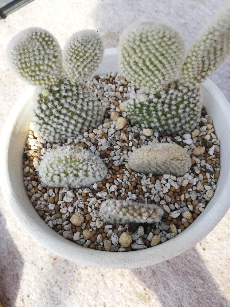 白桃扇が徐々に捻れてしまいました。 太陽の向きの関係でしょうか? 4/18に植え替えをして5/1に水やりをしました。