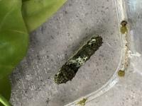 アゲハチョウの幼虫が動かなくなりました。 昨日の朝からです。 幼虫の表面に液体のようなものが見られます。  病気か何かでしょうか?