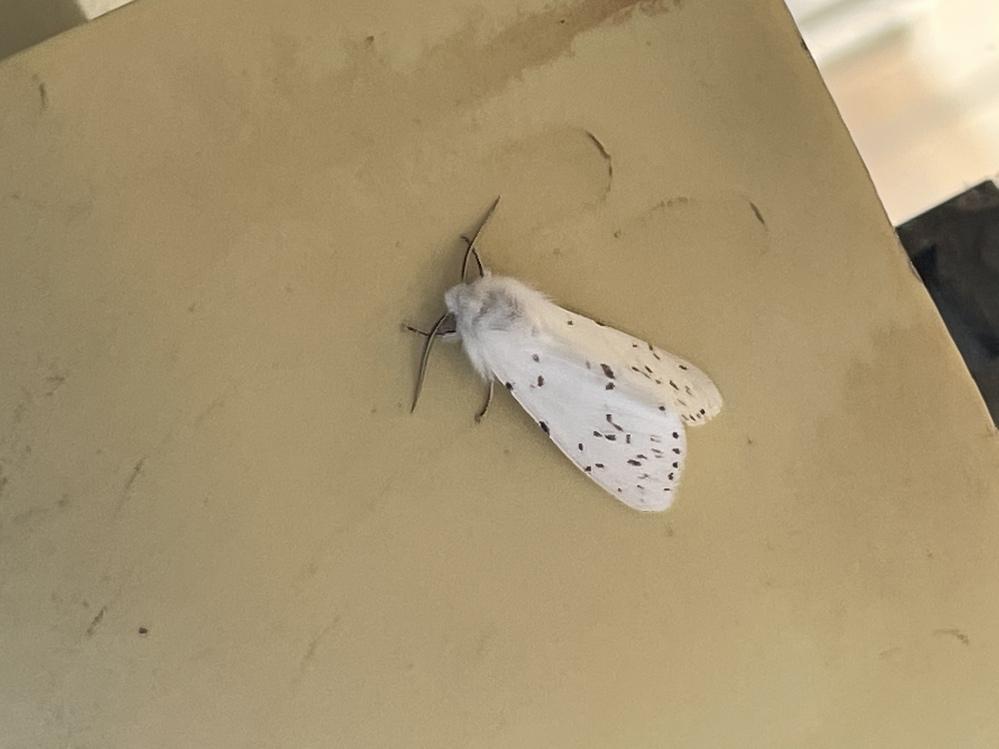 この蝶?蛾?の名前を教えてください。 白くて綺麗です。。。