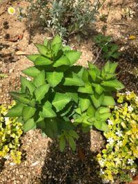 庭に勝手に生えてきたこの植物がなんという植物か、わかる方教えて下さい!葉っぱの縁がほんのり紫色で綺麗なので抜くか迷っています。