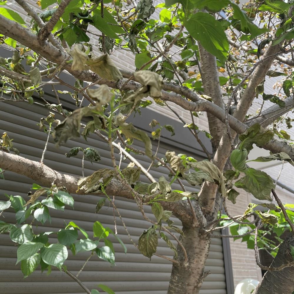 団地さくらんぼの木が先日から突然枯れはじめました GW前に大量に実をつけて完熟した頃ですが上の方の葉から茶色くなりはじめ段々と根本の方の葉まで枯れてきています 害虫駆除等のスプレーを買ってきて巻いてみましたがどんどん枯れてきています 毎年2月に剪定していましたが今年はしていません どのように対処したら良いでしょうか