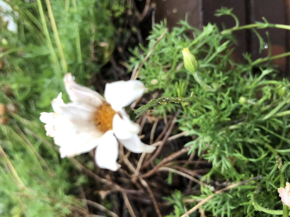 自宅の花壇の花です。 花の種類はわからないのですが、多分マーガレットだと思っています。 春に満開になった後、写真のように花が枯れています。 どう処理すればいいですか? 秋の開花に備えて茎を葉の分かれ目のすこし上あたりで切ればいいですか?