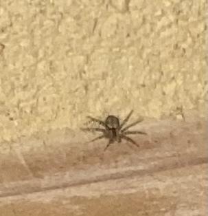 この蜘蛛の種類はなんですか? 一日中動かなかったので死んでるのかと思い続いたら素早く逃げてどこか行きましたが今日同じ場所に戻ってまたじぃーっとしていました!なぜなのでしょうか? 2点気になったので教えてください。