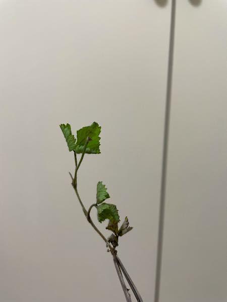 写真が非常に分かりにくいのですが、この植物の種類は分かりますか? 〜の仲間 程度でも教えて頂きたいです。