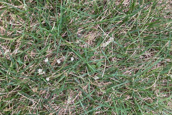 芝生なんですが こんな感じの白い雑草が無数に生えてます。 処理した方が良いですか?? 今年で2年目の姫高麗芝です。