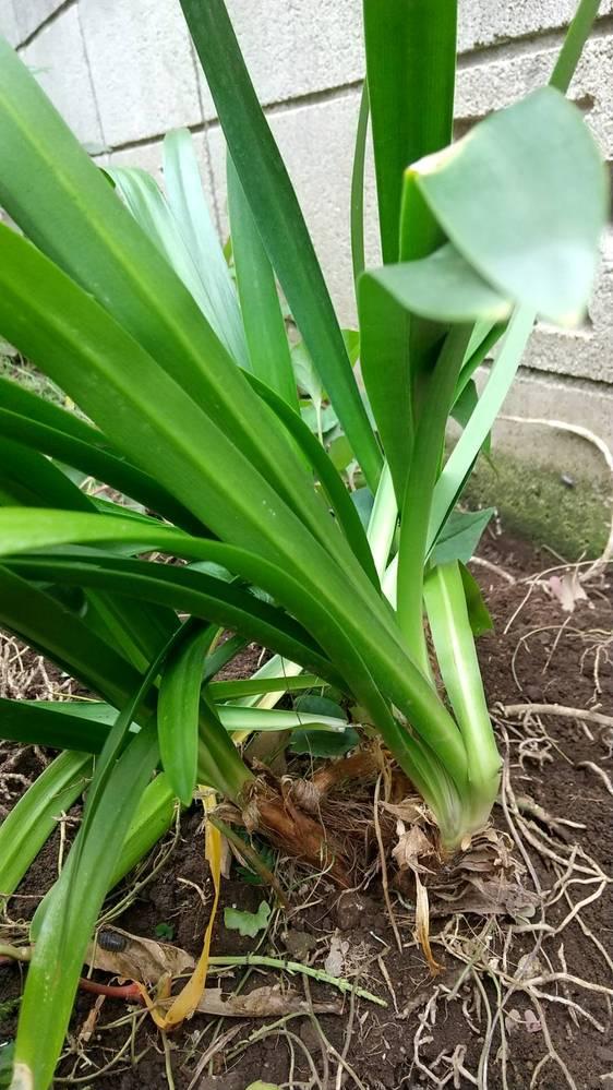これ何でしょう? Greensnapでトックリランやテーブルヤシと出てきますが、違うようです。 根が白くて強力、葉は左右にきっちり分かれて、真っ直ぐな葉が伸びています。 前の住人がわざわざ植えたみてたいで、抜こうかどうしようか迷っています。 このお庭の「あとは管理!」の次の画像の奥にある2つの植物です https://grengren.com/garden/dichondra