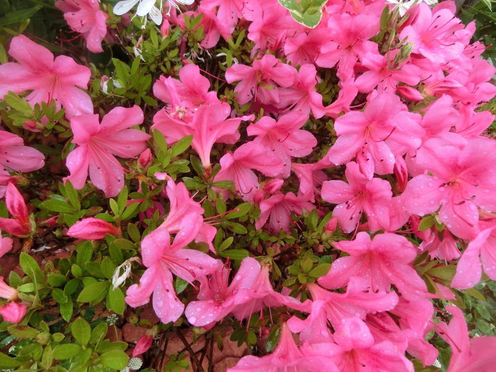 この花の名前を教えてください。 この時期によく咲いています。ツツジに似ていますが、全体的に小ぶりです。