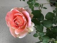 このバラの花の名前わかる方いますか? ぜひ教えて欲しいです!よろしくお願いします!