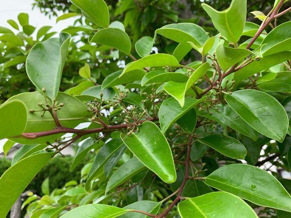 最近ツボミが付いています。この木の名前を教えてください。