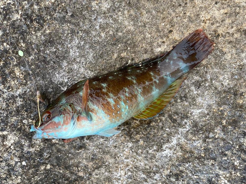 この魚は何ですか? ベラだと思うのですが、何ベラか分かる方教えてください。