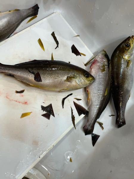 この魚が何かわかりますか? ヒレなどを切り取ってしまったのでわかりづらくてすみません。