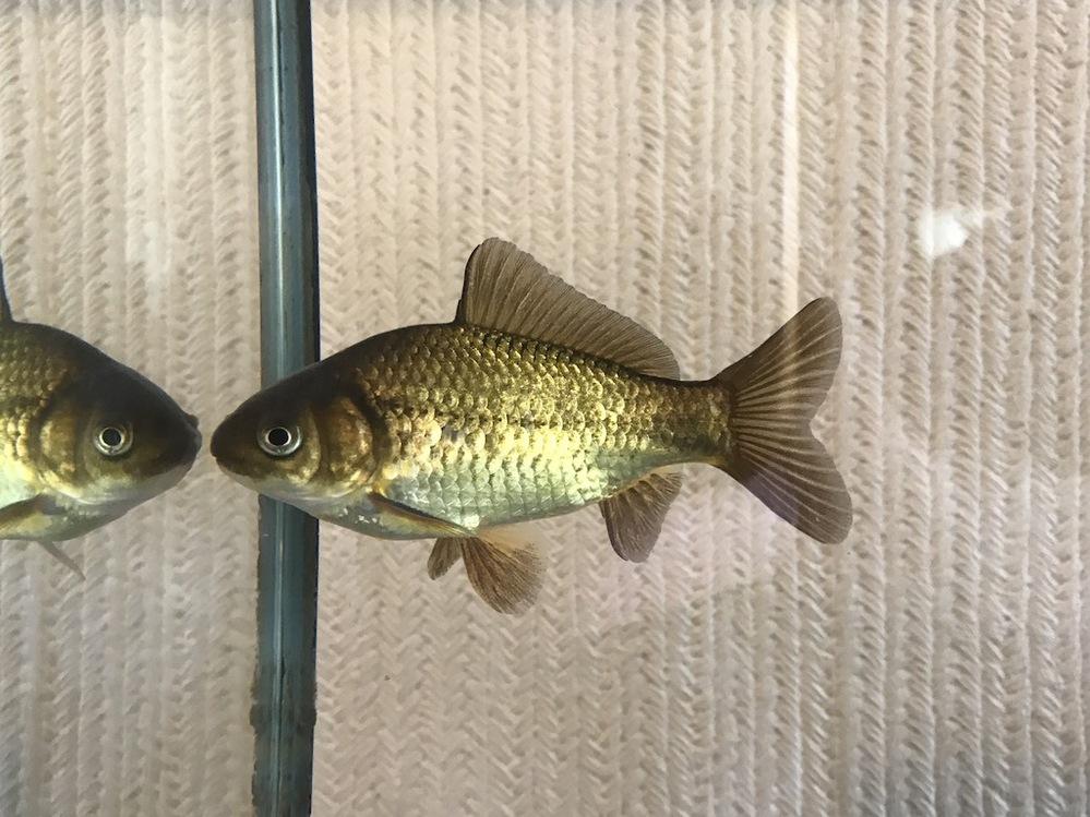 この金魚の種類/品種名を教えてください。 大きさは11cmほど、水溜めに誰かが放したと思われる金魚で、素性等は不明です。 現在は室内の水槽に移して3週間ほど経過、元気に過ごしています。 金魚としては自分で見たことのない色なので、気になりました。単なる雑種や赤い色の出なかったもので、特に品種名等の無いものかもしれません。 金業用の餌をやっていますが、餌をやっても普通の金魚のように水面に寄ってこず、餌を食べている姿を見たことがありません。 それでも時間をおいて見てみると水面に浮いていた餌は無くなっていますし、底に糞が残っていたりするので、餌を食べてはいるようです。 (餌の食べ残しや糞の状態がわかるよう、底砂は入れずに飼育しており、食べ残しの餌が沈んでいないことは確認できています。また、糞の形状は金魚のような細長い形です) また非常に臆病なのか、人間が水槽に近づくと暴れるように泳ぎ、水槽のガラスに頭をぶつけることが多いです。