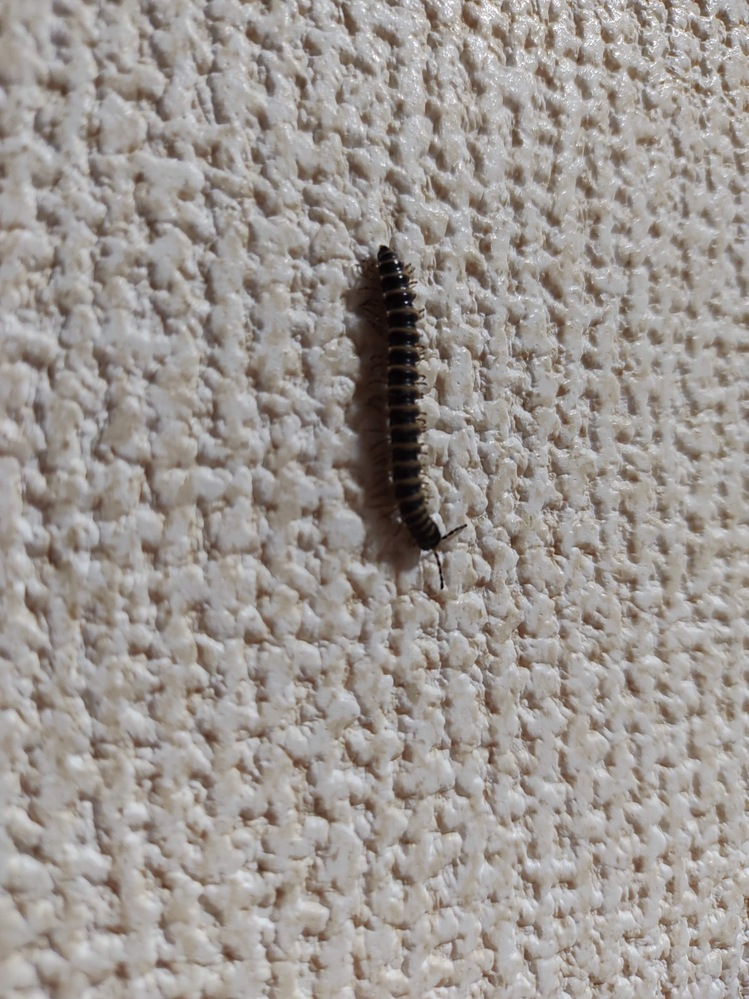 さっき家の中にいたんですけどこの虫の名前何ですか?