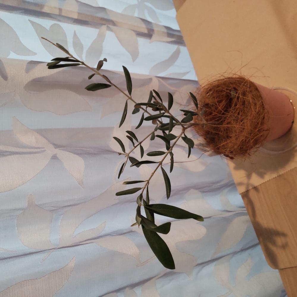 オリーブの元気がなくなってきたように感じます。新芽もあるのですが、写真のように葉が丸まってきました。 購入してから半年くらい経った事や、下から根は出てきていませんが水やりするもののすぐに下から水が出てきます(水はけが早く感じます。) なので、鉢植え替えしようと思うのですが、今はしない方がいいのでしょうか? する場合、土が観葉植物用と花、野菜用の肥料入土とあるのですが、どちらがいいでしょうか? どちらかの土に苦土石灰を混ぜた方がいいのでしょうか?