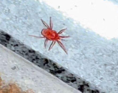 昨日玄関に居たんですけどこれはなんていう虫ですかね?ものすごくちっちゃかったです!(お米1粒くらい?)けど肉眼で全然見える大きさです。