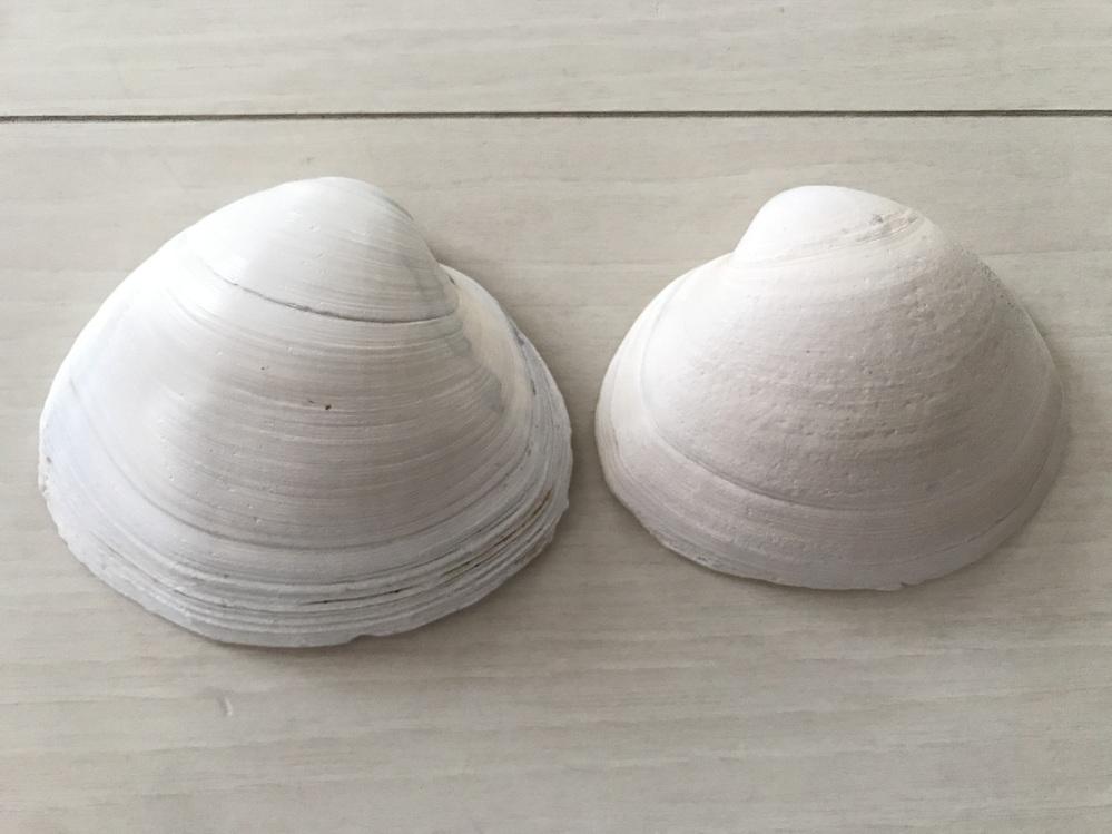この貝は何て言う名前でしょうか? 大きい方は縦9cm、横10.5cmほどあります。 調べたのですが分かりませんでした...