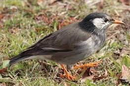 最近ムクドリの大群をあまり見ない気がするのですが繁殖期はペアで行動しますか? それといつも大群でいますが子育てが終わったらペアは毎年変わるのでしょうか?