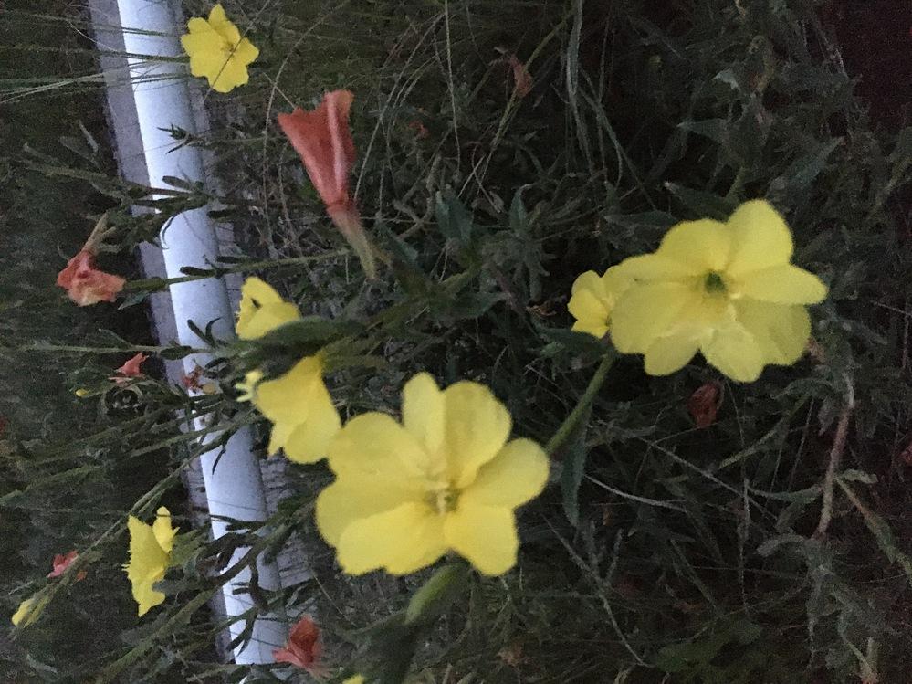 花の名前を教えて下さい。 5月17日撮影です。 黄色い花で、萎れると茶色に変色するようです。 ご存知の方、教えて下さい。