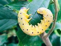 水玉模様のこの幼虫の種類が分かりましたら教えて下さい♪