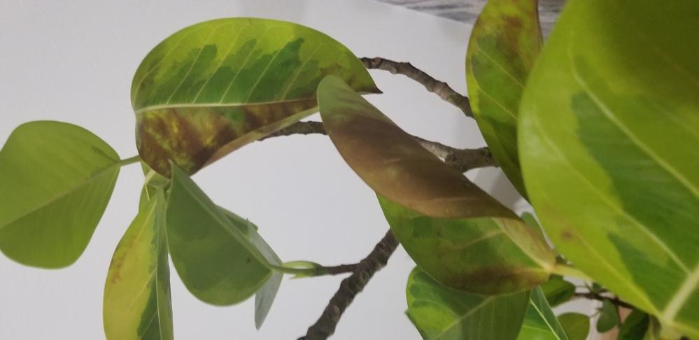 観葉植物が画像ような状態なのですが、弱ってるのでしょうか?こうなるのが普通なのでしょうか。 品種は忘れてしまいました。 水やりは土が乾いた時に少しあげてます。 窓際はエアコンの風が当たるのでたまーに外に出して日光に当ててます。