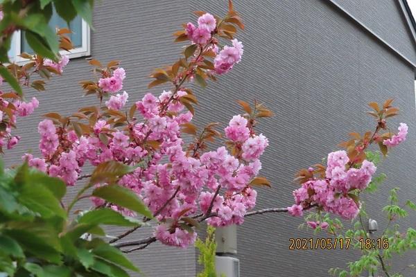 札幌郊外ですが きれいな桜が満開です。 エゾヤマザクラやソメイヨシノは五月の初めに咲きましたが この桜は今が満開です。 桜の名前を教えてください。八重桜ですか よろしくお願いします。