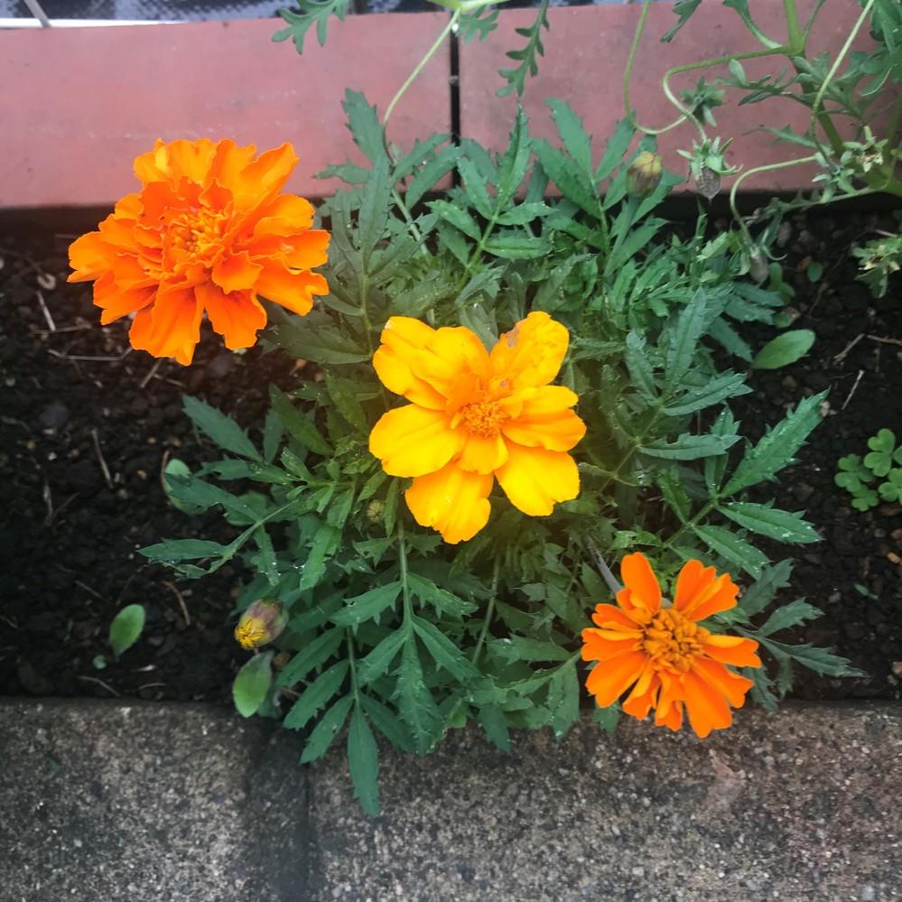 マリーゴールドを種子から植えたところ、同じ苗から初めに咲いた花とは違う形状と色の花が咲きだしました。 画像中央の花が最初に咲いた花で、左上と右下が後から咲いた花です。この理由を教えて下さい。なにとぞ、よろしくお願いします。