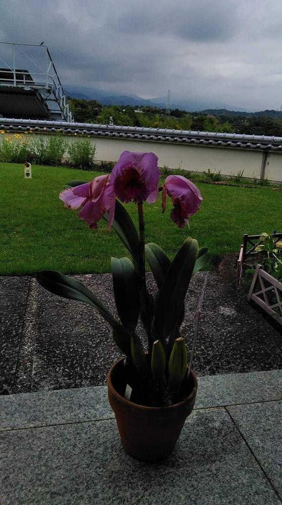 カトレアを母の日に購入。場所が良ければ胡蝶蘭よりもちますよと言われましたが、写真の状態です。 気温が上下、湿度が上がったせいでしょうか?いつもは風の通る下駄箱の上に置いています。昨日は出掛けるため、しめていました。