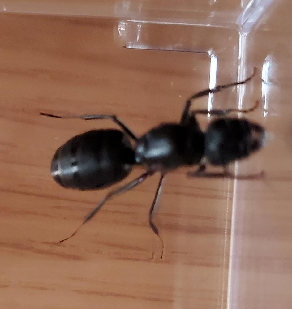 歩いていたらでっかいアリを捕まえたのですが種類わかる方いますか? 2cm近くありました。 女王アリだったら嬉しいけどどうでしょ?