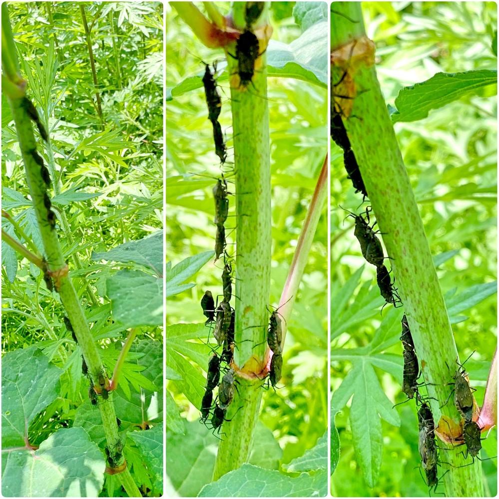 イタドリに、たくさんの虫が1列にくっついていました。 虫の名前を教えてください。