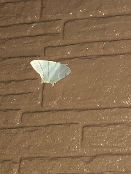 こいつは何という蛾ですか?