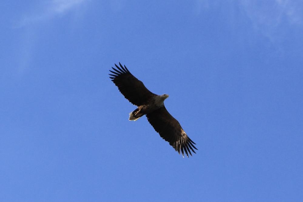 北海道別海町の野付半島にて、空を飛んでいたこのワシを撮影しました。 鳥類について詳しくないのですが、頭と尾の白さからハクトウワシなのかと思うのですが…どうでしょうか? 調べてみると去年初めて日本本土で確認されたとのことであり、そんな激レアを見られたのか?と嬉しさと疑問が入り混じっています。お詳しい方、どうぞよろしくお願いします。