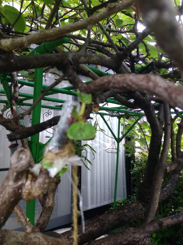 キウィの接ぎ木 3年目、失敗ばかり やっとひとつが葉っぱが 拡がってきました 本体の葉っぱより かなり小さいですが いけそうですか? よろしくお願いいたします