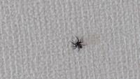 蜘蛛の写真のため、一応閲覧注意 家の中に写真の蜘蛛がいたのですが、何という種類の蜘蛛でしょうか?ちょこまかと可愛かったので手に乗せてみたところ、糸を垂らして逃げていきました。流石に巣をはられたら嫌なので、 ・巣を作る種類なのか ・ハエなどを食べてくれる益虫なのか ・大丈夫だと思いますが、人体に有害ではないか を教えて頂きたいです。