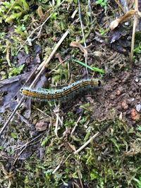この毛虫の種類を教えてください。 大きさは3〜4センチです。 ジューンベリーの葉にいました。