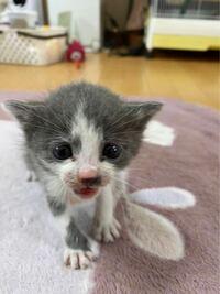 至急お願い致します!!、 この猫ちゃんをさっき拾ったのですが生後何週間くらいでしょうか!?  ミルクでしょうか!?固形あげていいのでしょうか!?