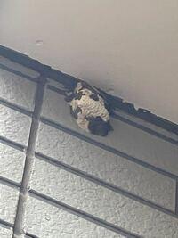 玄関にこのような巣が出来てました… 玄関の外にこのような虫の巣?があったのですが、何の巣なのか分かりません  調べても同じ様なものが出て来ないので、詳しい方がいたら教えてほしいです(T T)