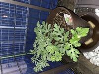 スイカの家庭菜園で質問です。 植え替えして2ヶ月ですが成長程度は写真のような感じです。 花も咲いていて人工受粉も出来るのですが、実を早くつけすぎると苗自体の育ちが悪くなると思っています。 でもタイミングを逃すと花が散ってしまいそうなので不安です。  人工受粉のタイミングというものは存在するのでしょうか。 目安でも良いので教えていただきたいです。 よろしくお願いします。