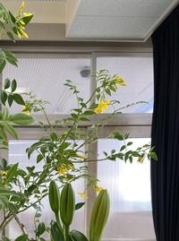 この黄色い花が咲く植物なんて言うんですか?1日咲きです