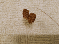 今日、道端の雑草を見ていると、写真のような種子?を見つけました。 中の種はなくなっており、写真に写っているのは殻?のようです。 何という植物の種なのか、わかるかたいらっしゃいますか? 教えてください。
