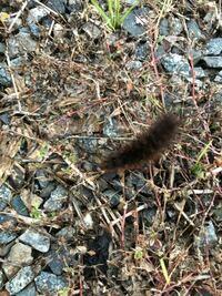 この毛虫の種類を教えてください。 5cmぐらいで動きが早いです。