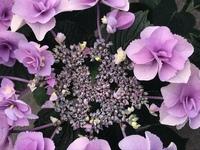 アジサイの品種を教えてください。  先月、見た目の美しさに惹かれてアジサイを購入したのですが、品種がわかりません。 色は薄紫〜薄ピンク色で、ガクアジサイの仲間なのかな?とも思ったのですが、花びらが八重でギザギザのところがあります。