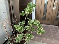 この植物の名前を教えてください。 半分枯らしてしまって再購入したいのですが何の植物かわかりません。 ご存知の方は教えてください。