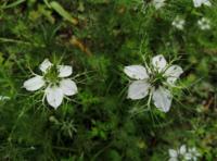 花に比べ雄しべや雌しべがとても大きく、周りにトゲトゲの葉(?)が生えている白い花を見付けました。 何と言う植物かご存知の方がいらっしゃいましたらお教え下さい!