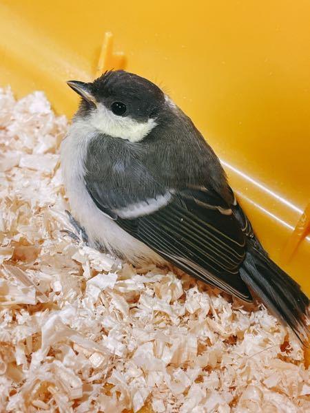 こちらの小鳥がコンビニの前で衰弱していました。 コンビニの人は気づいていましたがそのままにしていて、聞くと5時間前にカラスに落とされてずっと気を失っていたみたいです。 飛べないようで駐車場の前にいたので 危ない事もあり、とりあえず保護する事にしました。 まず、鳥の種類がわからないので何を食べるのかもわかりません。 元気になったら自然に返そうと思いますが、今する事は何でしょうか? とりあえず、昔買ってたハムスターの古屋に入れて、水と家にあるパンの耳を入れてます。