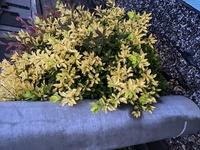 この黄色い葉っぱの植物の名前わかりますでしょうか?