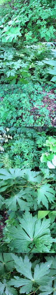 5月の標高300mくらいの低山の日影に、 いたるところに群生していた植物です。 何という名前の植物でしょうか??